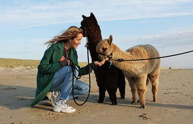 alpaca-strandwandeling-2